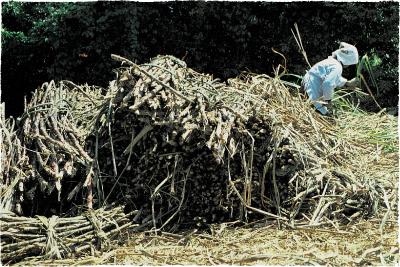 昔の手刈り収穫の様子