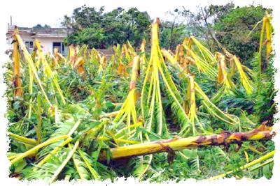 台風で倒れたバナナの木々