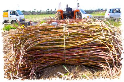 サトウキビ収穫の様子