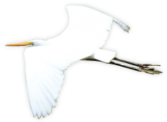 空飛ぶシラサギ