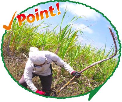 ポイント:手刈り収穫