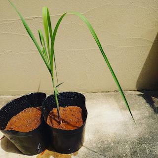 ポットのサトウキビが成長する様子1
