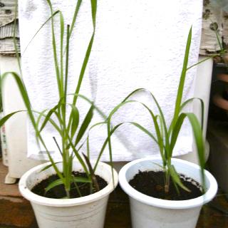 ポットのサトウキビが成長する様子2