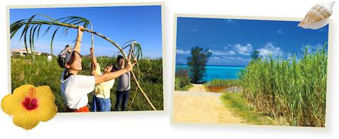 サトウキビと海、収穫体験の写真